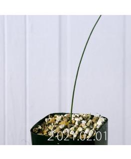 Moraea macronyx モラエア マクロニクス EQ847  18476