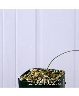 Moraea macronyx モラエア マクロニクス EQ847  18477