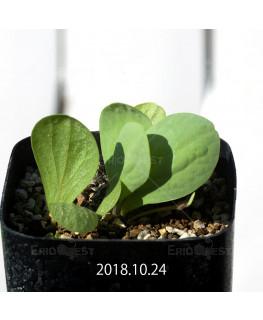 オキザリス モノフィラ 白花 子株 1847