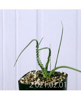 Moraea macronyx モラエア マクロニクス EQ847  18482