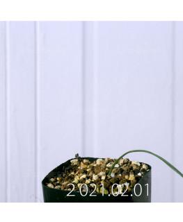 Moraea macronyx モラエア マクロニクス EQ847  18485