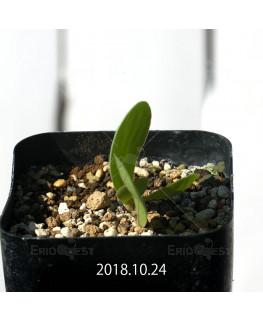 オキザリス モノフィラ 白花 子株 1851
