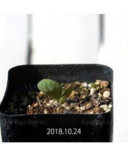 オキザリス モノフィラ 白花 子株 1853