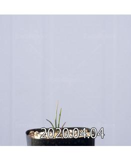 ラケナリア ゼイヘリ GS2507 実生 18578