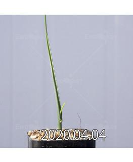 ラケナリア ゼイヘリ GS2507 実生 18589