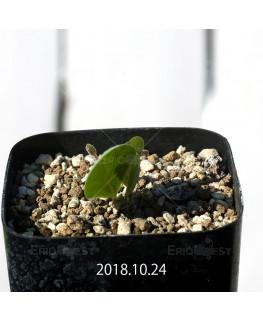オキザリス モノフィラ 白花 子株 1858