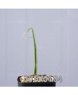 ラケナリア ゼイヘリ GS2507 実生 18590