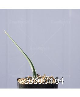 ラケナリア ゼイヘリ GS2507 実生 18592