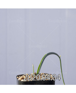 ラケナリア ゼイヘリ GS2507 実生 18593