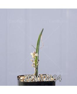 ラケナリア ゼイヘリ GS2507 実生 18594