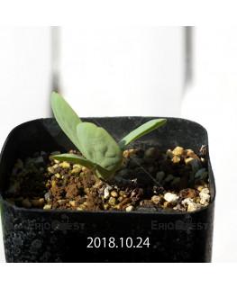 オキザリス モノフィラ 白花 子株 1861