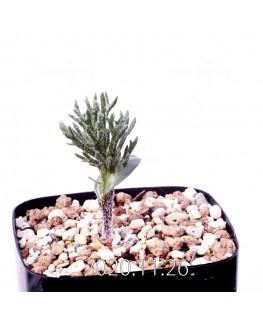 Eriospermum cervicorne エリオスペルマム ケルビコルネ MRO99  18620