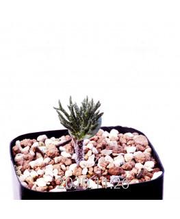 Eriospermum cervicorne エリオスペルマム ケルビコルネ MRO99  18624
