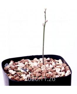 Eriospermum cervicorne エリオスペルマム ケルビコルネ MRO99  18649