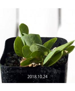 オキザリス モノフィラ 白花 子株 1864