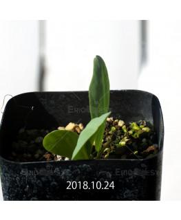 オキザリス モノフィラ 白花 子株 1865