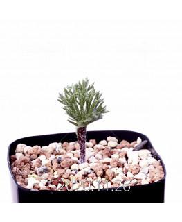 Eriospermum cervicorne エリオスペルマム ケルビコルネ MRO99  18661
