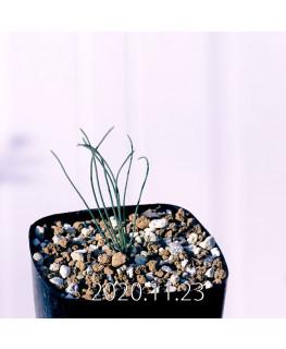 Drimia uranthera ドリミア ウランテラ EQ640  18709