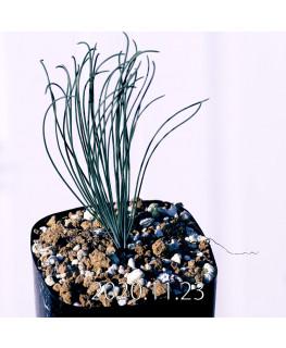 Drimia uranthera ドリミア ウランテラ EQ640  18711