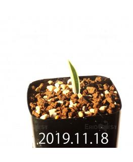 ラケナリア メディアナ DMC10319 子株 18762