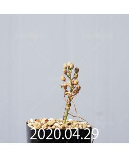 オーニソガラム ムルチフォリウム EQ857 子株 18807