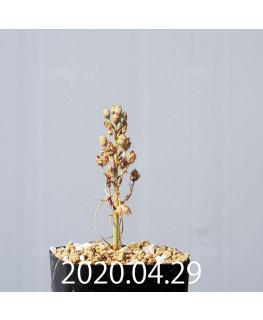 オーニソガラム ムルチフォリウム EQ857 子株 18814