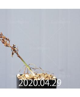 オーニソガラム ムルチフォリウム EQ857 子株 18816