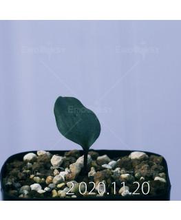 Eriospermum sp. エリオスペルマム 未識別種 cf. アルキコルネ  18865