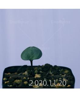 Eriospermum sp. エリオスペルマム 未識別種 cf. アルキコルネ  18871
