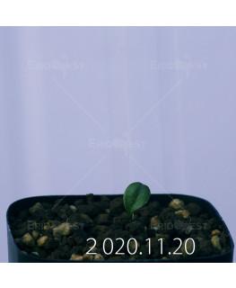 Eriospermum sp. エリオスペルマム 未識別種 cf. アルキコルネ  18919