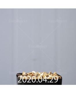 ドリミア プラティフィラ EQ395 子株 19145