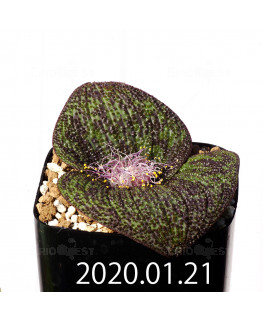 Massonia longipes マッソニア ロンギペス EQ870  19246