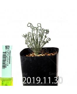 アルブカ ナマクエンシス Worcester × ES15533 実生 19772
