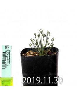 アルブカ ナマクエンシス Worcester × ES15533 実生 19773
