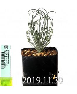 アルブカ ナマクエンシス Worcester × ES15533 実生 19791