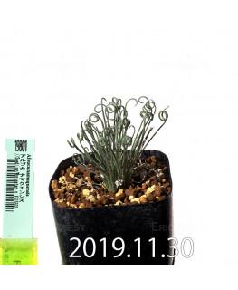 アルブカ ナマクエンシス Worcester × ES15533 実生 19801