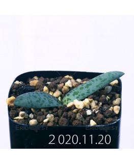ラケナリア プシラ EQ878 実生 19883