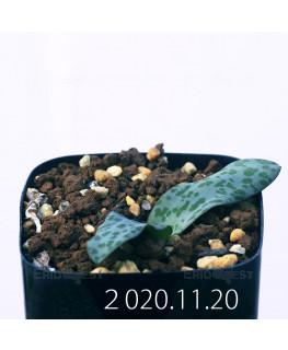 ラケナリア プシラ EQ878 実生 19884