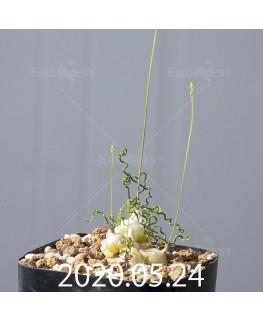 オーニソガラム トルツオスム DMC13646 子株 19973
