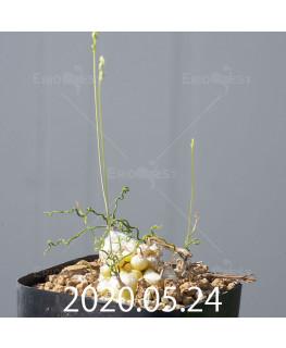 オーニソガラム トルツオスム DMC13646 子株 19974
