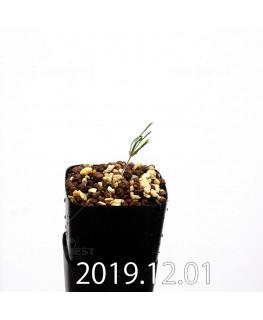 エリオスペルマム プロリフェルム EQ169 子株 20002