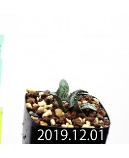 ラケナリア プシラ EQ878 子株 20003