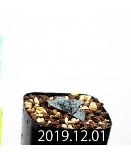 ラケナリア プシラ EQ878 子株 20004