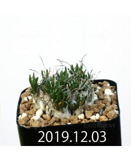 オーニソガラム sp. EQ391 子株 20033