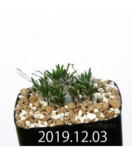 オーニソガラム sp. EQ391 子株 20034