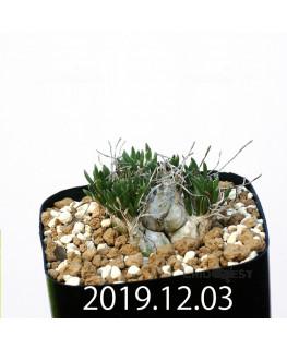 オーニソガラム sp. EQ391 子株 20036