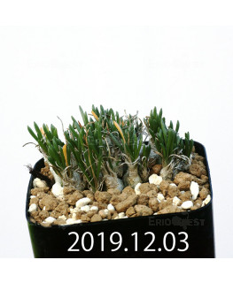 オーニソガラム sp. EQ391 子株 20052