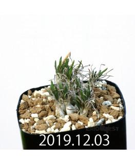 オーニソガラム sp. EQ391 子株 20054