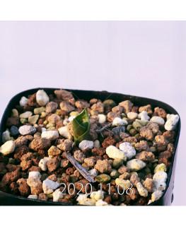 Lachenalia ensifolia ラケナリア エンシフォリア 白花  20071