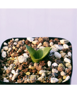 Lachenalia ensifolia ラケナリア エンシフォリア 白花  20079